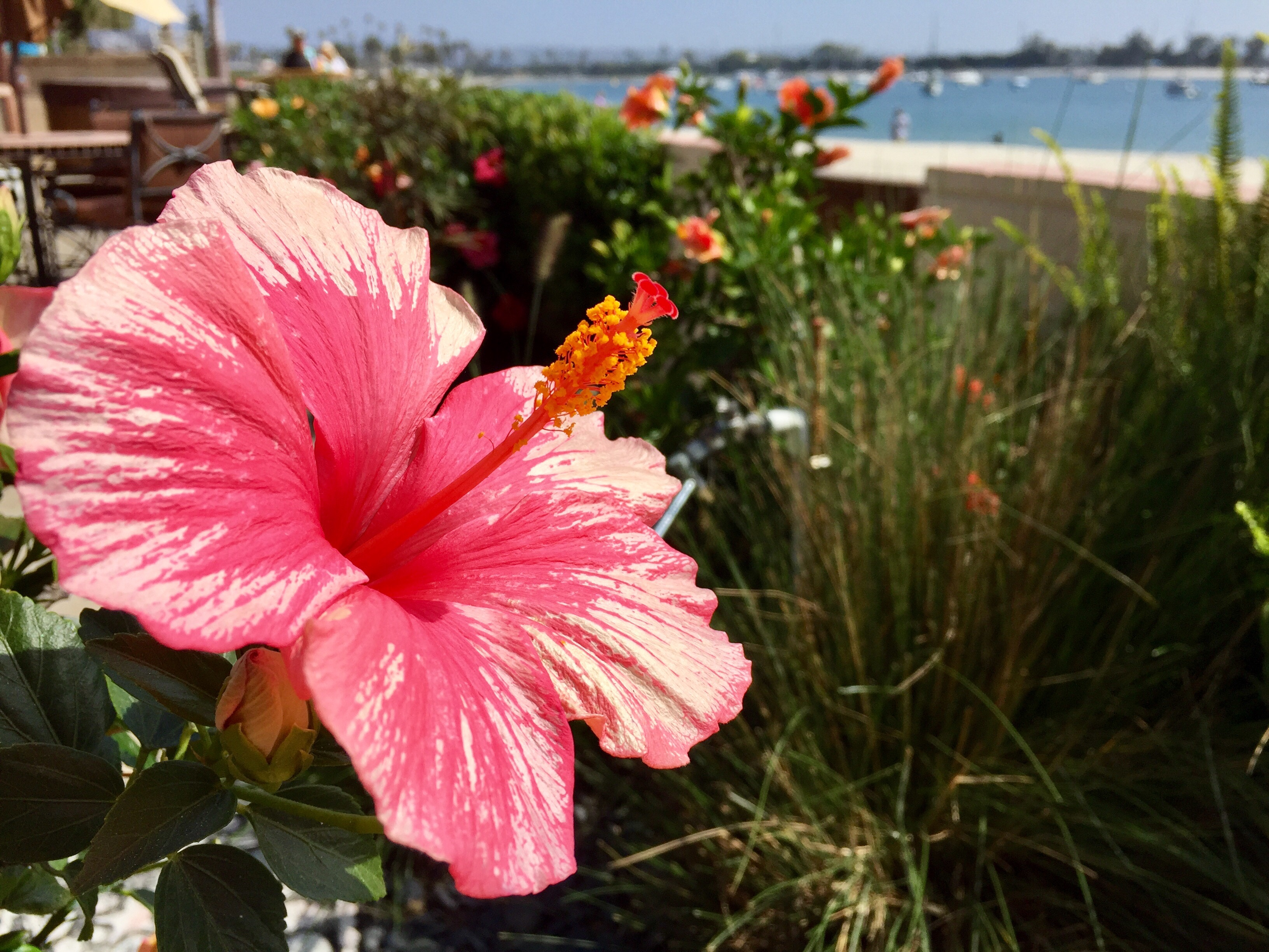 Hibiscus On The Bayside Mission Beach Pacific Ocean Boardwalk Bay